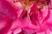Close Up, Rose, Water Drop On Petal, Pink, Inside, Abstract