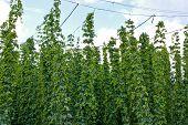 image of hop-plant  - Hop garden in vegetation - JPG