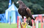 stock photo of jousting  - Harris Hawk bird at medieval jousting exhibition - JPG