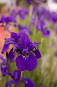 Purple Iris Soft Focus Background poster