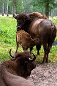 picture of aurochs  - Aurochs on the grass in the summer forest - JPG