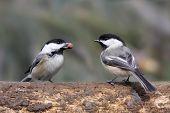 stock photo of chickadee  - Pair of Black - JPG
