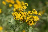 stock photo of tansy  - Tansy on a summer flowering meadow close up