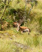 pic of cervus elaphus  - Majestic European Red deer  - JPG