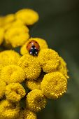image of tansy  - Ladybug on Common Tansy in a Macro shot - JPG