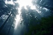 pic of olympic mountains  - Deep Foggy Redwood Forest in Northern California USA - JPG