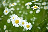 stock photo of wildflowers  - Mountain Daisies  - JPG