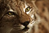 stock photo of taxidermy  - Lynx Taxidermy - Hunter Exposition. Lynx Head Closeup