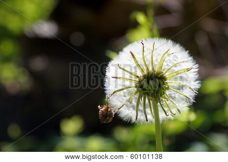 insect on a dandelion against sunlight