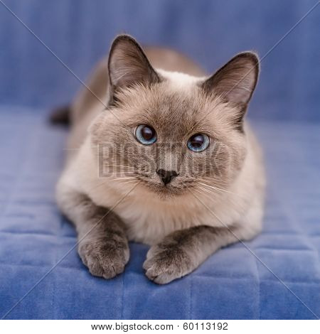 Cute Colorpoint Blue-eyed Cat Lying On Blue Sofa And Looking At Camera
