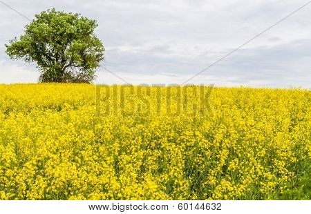 Landscape With Yellow Rapeseed Field