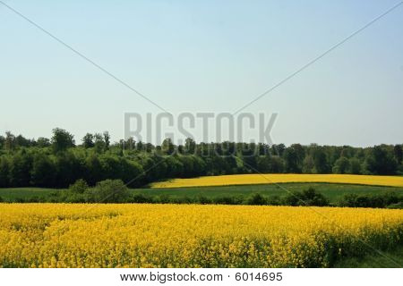 Yellow meadow in summer
