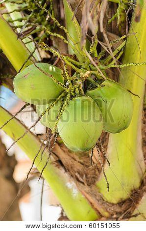 Sweet Green Coconuts At Its Tree