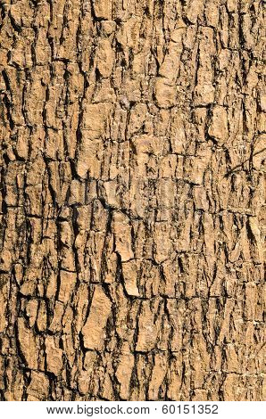 Bark Of Elm Tree