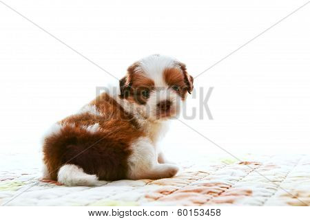 face of adorable baby shih tzu pedigree dog sitting and watching to camera with eyes contact isolate