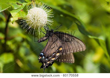 Spicebush Swallowtail Butterfly 2