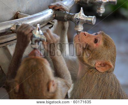 Monkeys drinks water from pipe