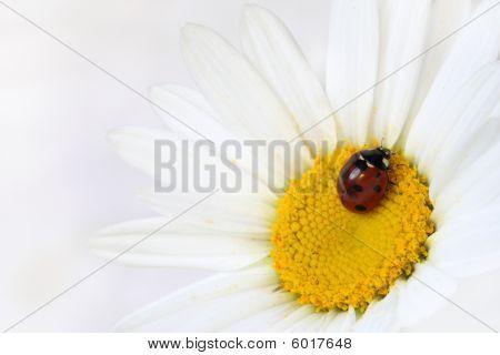 Ladybug On A White Daisy