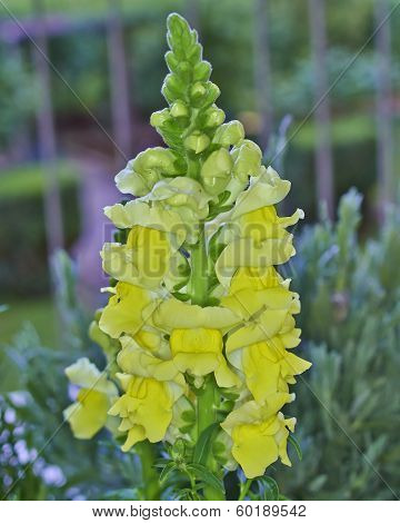 Yellow snapdragon flower closeup