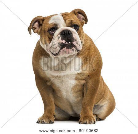 English Bulldog showing teeth, sitting, 1 year old, isolated on white