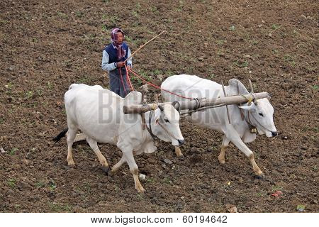 AMARAPURA, MYANMAR - DEC 09, 2013: Plowing rice fields with an ox team. The farmers plows the land ancient method using oxen.