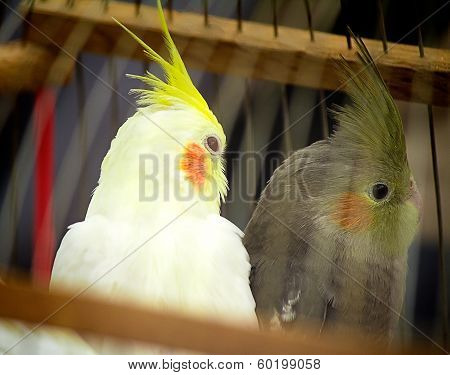 Two Parrot In A Cage.