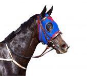 Постер, плакат: Потные скаковая лошадь с расклешенными ноздрями