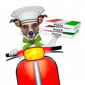 stock photo of jack-in-the-box  - pizza delivery dog with a stack of pizza boxes on a motorbike - JPG