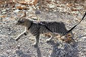 picture of harness  - Young Tabby Cat Walking with leash and harness - JPG