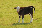 stock photo of cattle breeding  - Mixed breed cattle ranch near Hermiston Oregon - JPG