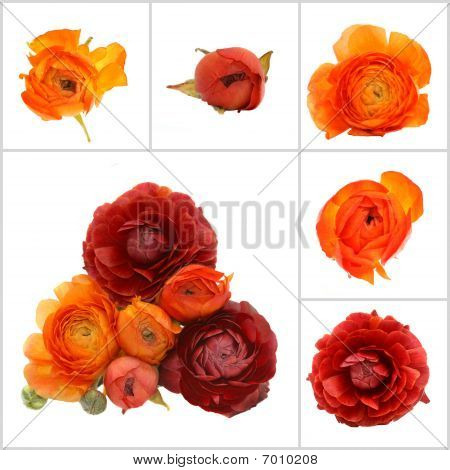 Orange Flowers Isolated On White Background