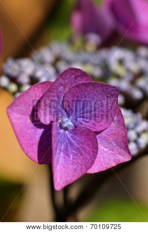 Close-up of a beautiful purple pink lacecap hydrangea.