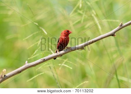 Male Red Avadavat