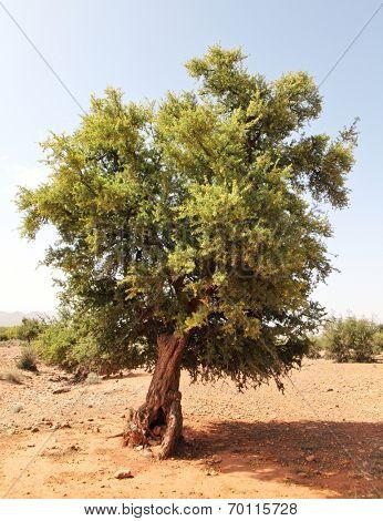 Argan tree (Argania spinosa)