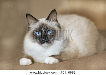 Siberian Pedigree Cat With Blue Eyes
