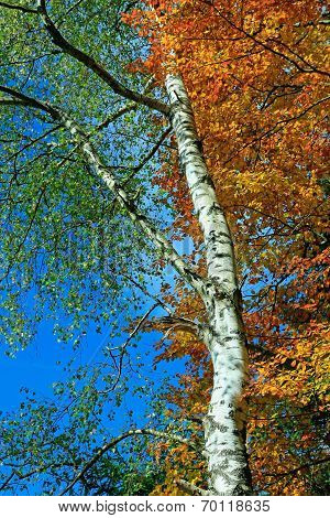 Changing Foliage In Autumn, Birch And Beech Tree