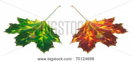Green And Red Yellowed Maple-leaf