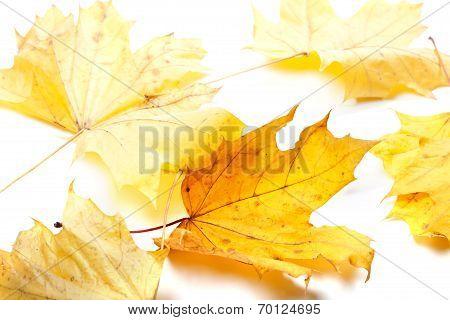 Autumn Yellow Maple-leafs
