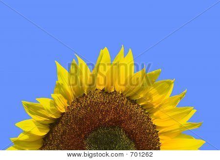 SunflowerRise