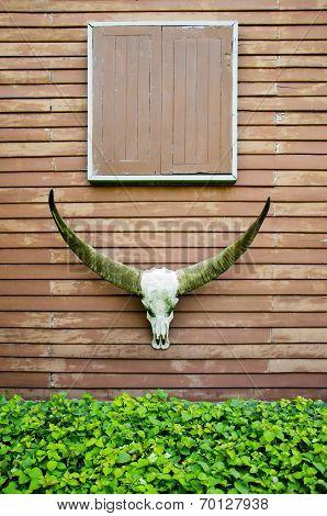 Longhorn Buffalo