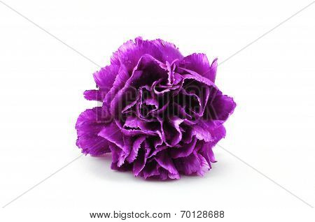 Purple Carnation Isolated On White Background