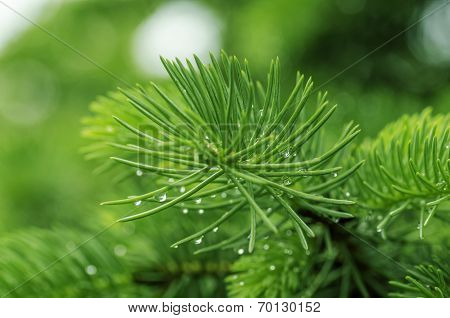Fir Branch With Drops Of Morning Dew On The Needles Closeup