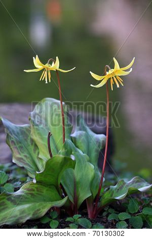 Yellow Lily, Erythronium Dens-canis