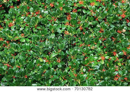 Holly Bush Hedge With Berries
