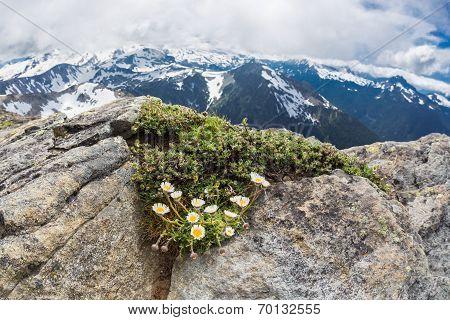 Alpine daisies at the peak Mt. Freemont looking toward Mt. Rainier Washington