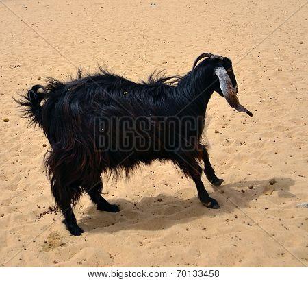 black Female goat over sand
