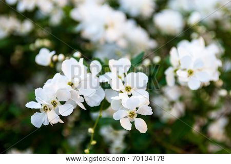 White Flowers Of The Pear Tree