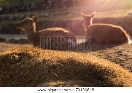 Silhouette of deers in Nara Park, Japan, Asia. Focus on the deer's fur.