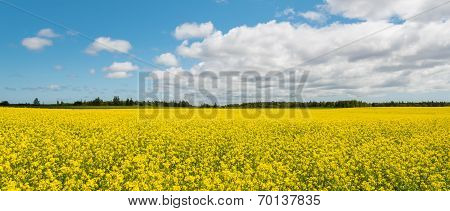 Panorama Of Yellow Field Rapeseed (green Gables Shore, Prince Edward Island , Canada)