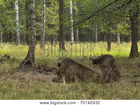 European Bisons Rest In Forest